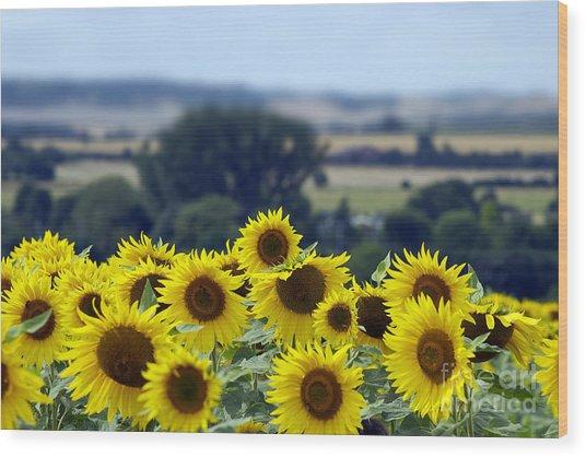 Glorious Sunflowers Wood Print