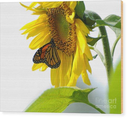 Glowing Monarch On Sunflower Wood Print