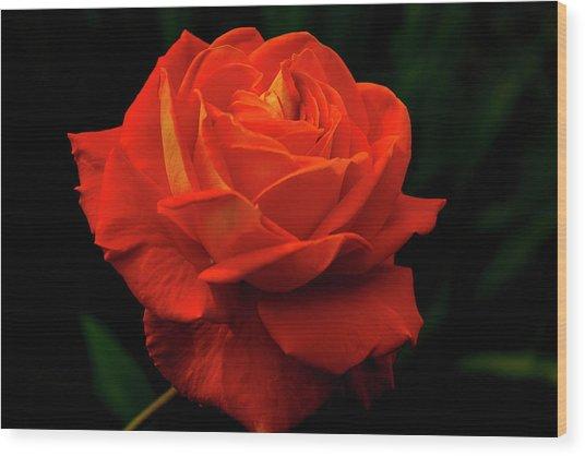 Glowing Orange Rose Wood Print