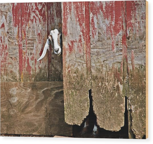 Goat And Old Barn Door Wood Print