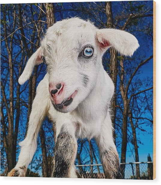 Goat High Fashion Runway Wood Print