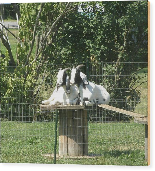Goats Dreaming Of Trouble Wood Print by Jeanette Oberholtzer