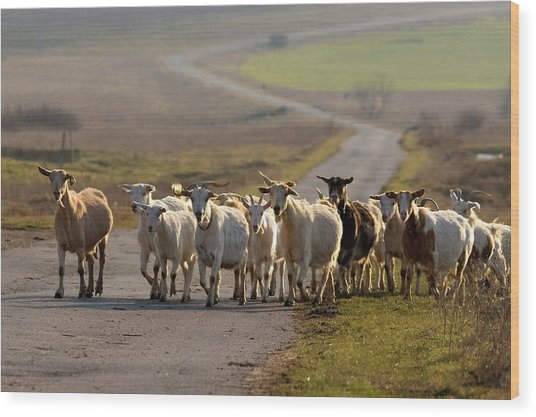 Goats Walking Home Wood Print