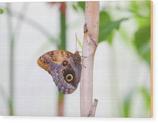 Wood Print featuring the photograph Gold And Brown Butterfly by Raphael Lopez