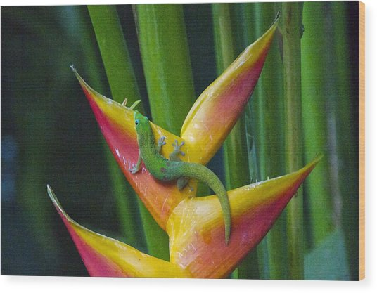 Gold Dust Day Gecko Wood Print