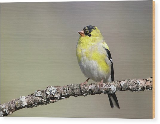 Gold Finch Wood Print