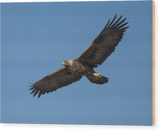 Golden Eagle In Flight Wood Print