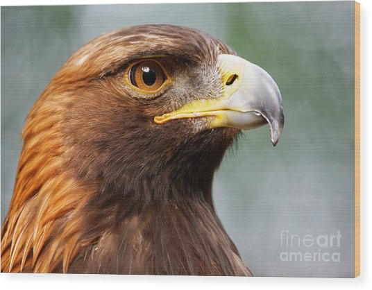 Golden Eagle Intensity Wood Print