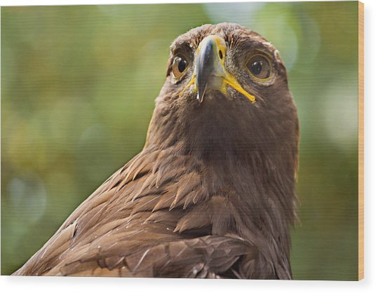 Golden Eagle Portrait Wood Print by Peter J Sucy