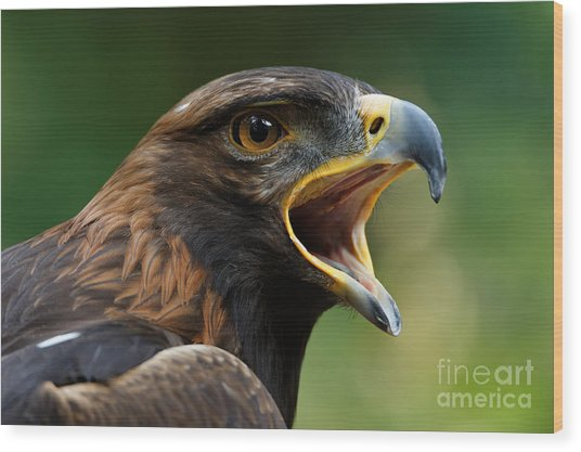 Golden Eagle - Raptor Calling Wood Print