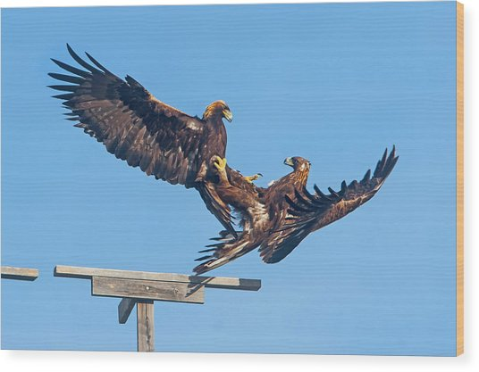 Golden Eagle Courtship Wood Print