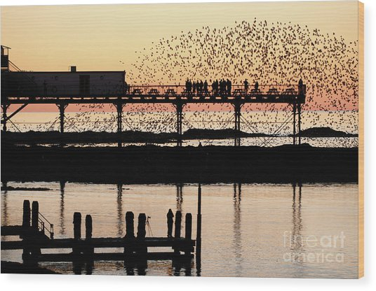 Golden Hour Starlings In Aberystwyth Wood Print
