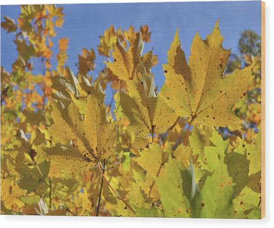 Golden Maple Wood Print by JAMART Photography