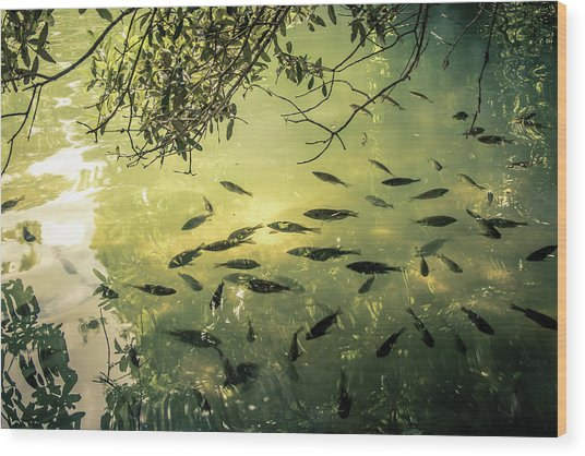 Golden Pond With Fish Wood Print