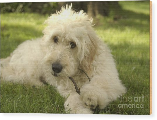 Goldendoodle Puppy And Stick Wood Print
