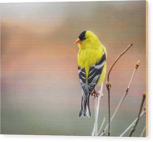 Goldfinch At Sunrise Wood Print
