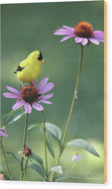 Goldfinch On A Coneflower Wood Print
