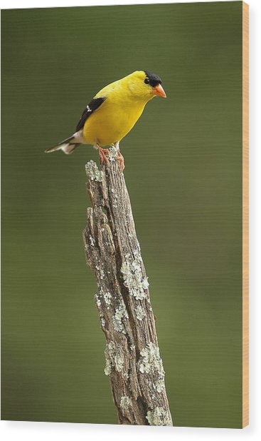 Goldfinch On Lichen Post Wood Print by Alan Lenk