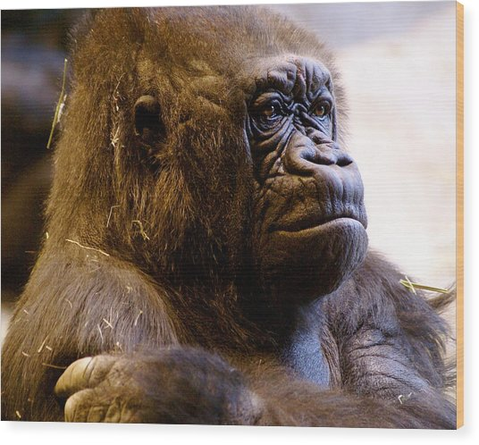 Gorilla Headshot Wood Print by Sonja Anderson
