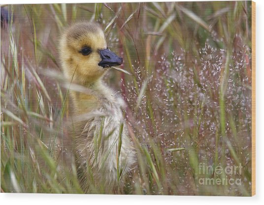 Gosling In The Meadow Wood Print