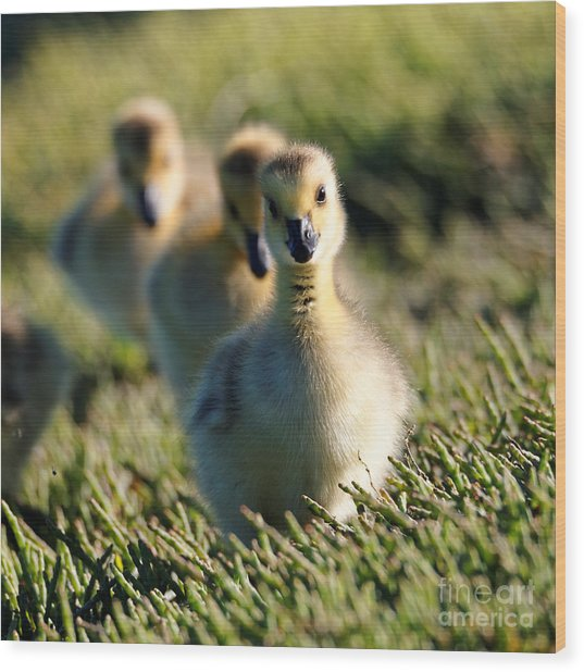 Gosling March Wood Print