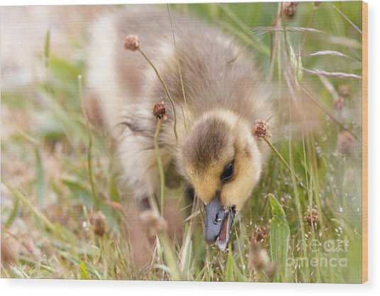 Gosling Nibble Wood Print