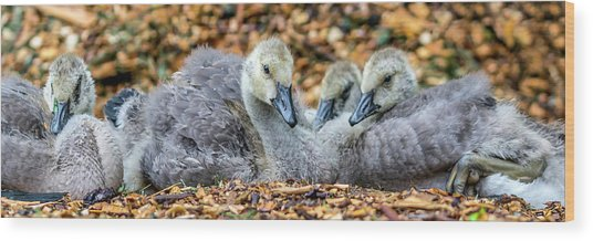 Goslings Wood Print