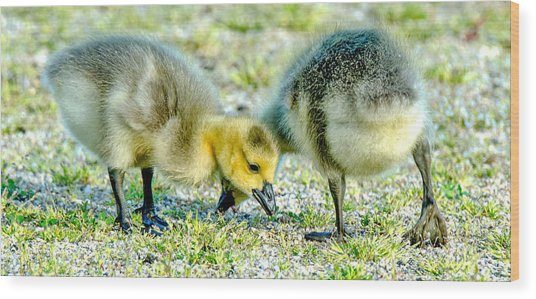 Goslings Snacking Wood Print