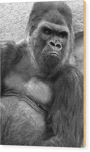 Gq Silverback Gorilla Wood Print by Brad Scott