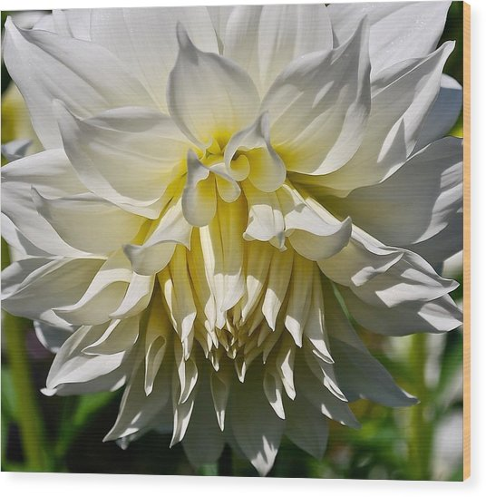 Graceful Dahlia  Wood Print