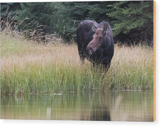 Wood Print featuring the photograph Grand Teton Moose by Jennifer Ancker