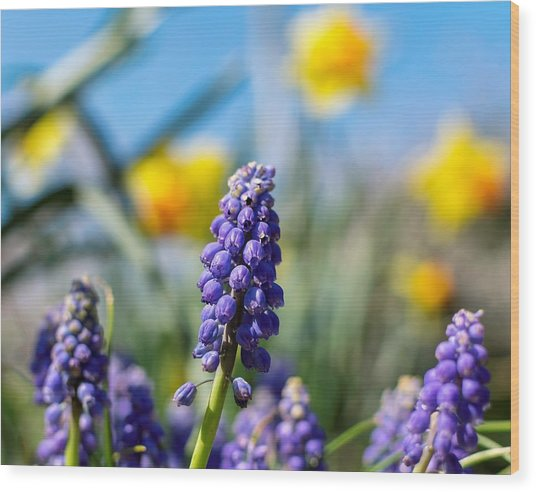 Grape Hyacinth Wood Print