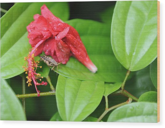 Grasshopper And Hibiscus Wood Print by Jessica Rose