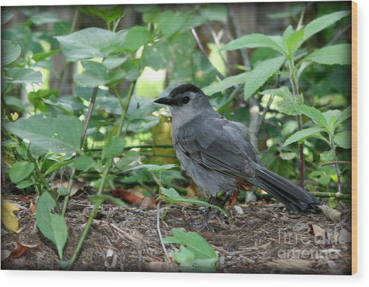 Gray Catbird Wood Print by Debra Straub
