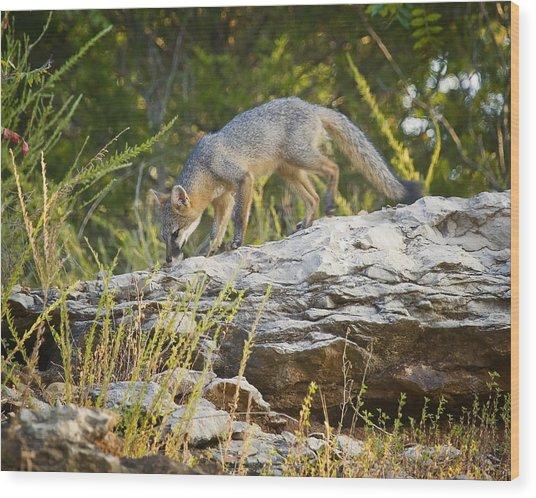 Gray Fox Hunting The Bluff Wood Print