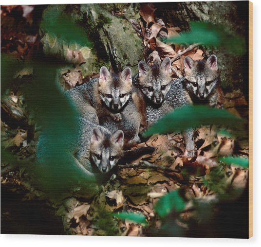 Gray Fox Kits Wood Print by Lloyd Grotjan