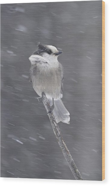 Gray Jay Wood Print by Philippe Francis
