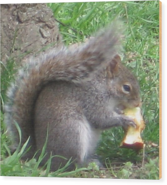 Gray Squirrel With An Apple Core Wood Print