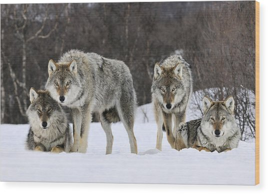 Gray Wolves Norway Wood Print