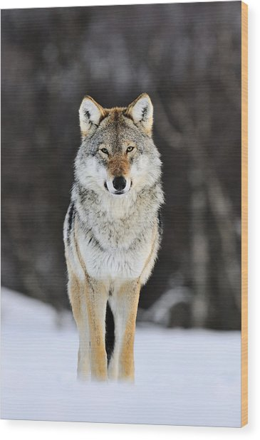 Gray Wolf In The Snow Wood Print