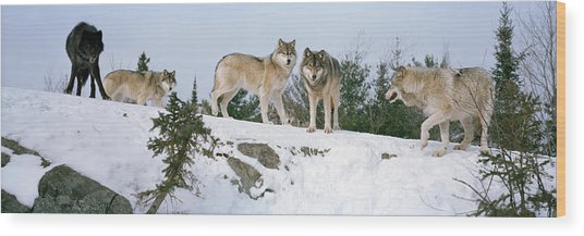 Gray Wolves Canis Lupus In A Forest Wood Print