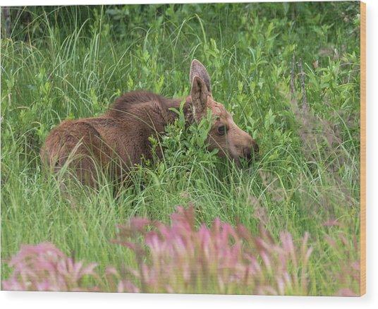 Grazing Baby Moose Wood Print