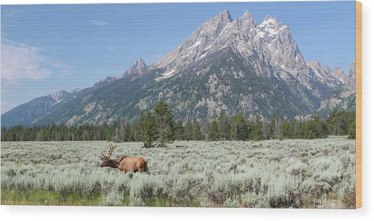 Grazing Elk In Grand Teton National Park Wood Print