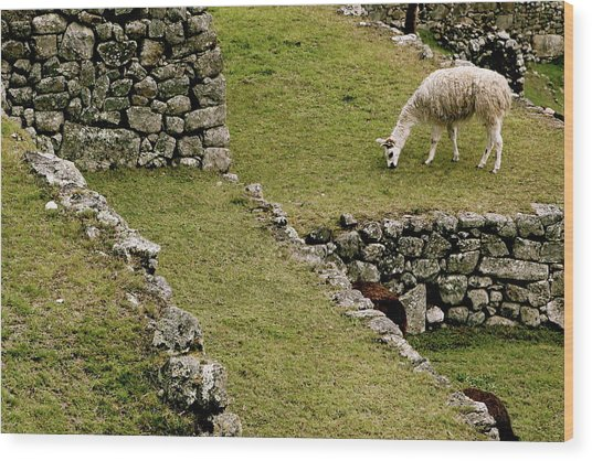 Grazing In Machu Picchu Wood Print