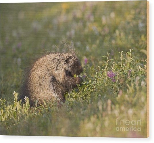 Grazing Porcupine Wood Print by Tim Grams
