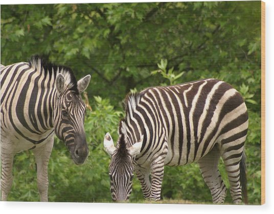 Grazing Zebras Wood Print by Sonja Anderson