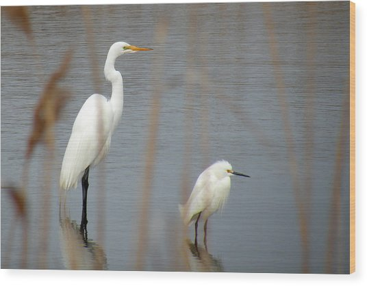 Great And Snowy Egret Wood Print by Donald Cameron