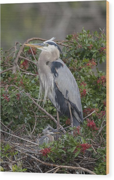 Great Blue Heron And Nestling Wood Print