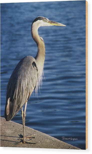 Great Blue Heron At Put-in-bay Wood Print