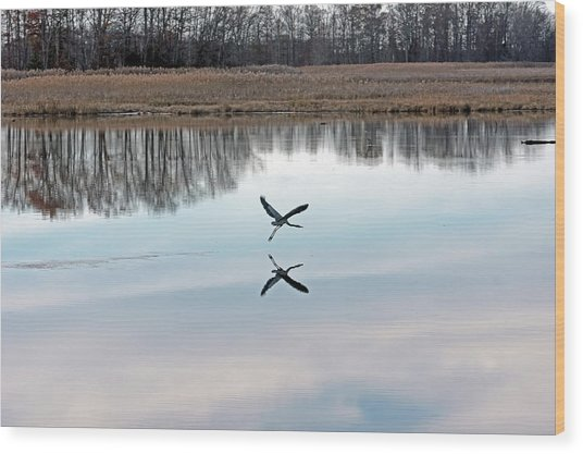 Great Blue Heron At Take-off Wood Print